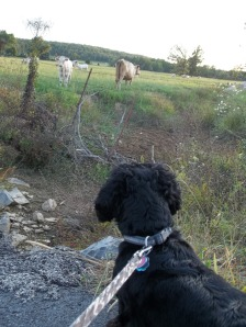 lily and cow