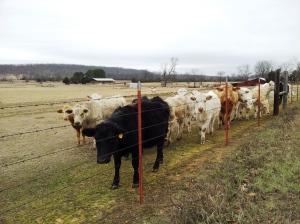 cows91