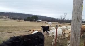 cows93